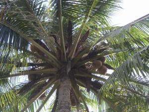 de schaduw van de kokospalm